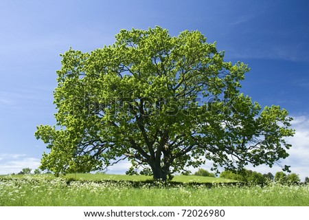 Old Oak tree in meadow - stock photo