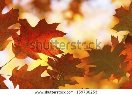 old oak tree leaves shining in the sunshine in autumn - stock photo