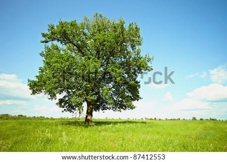 Old oak tree on meadows - stock photo