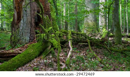 Old oaks and dead wood in foreground, deciduous stand - stock photo