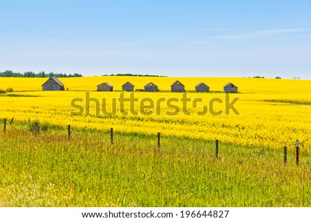 Old obsolete farm huts row lined up in field of bright yellow canola rapeseed with neutral sky in Alberta  Canada - stock photo