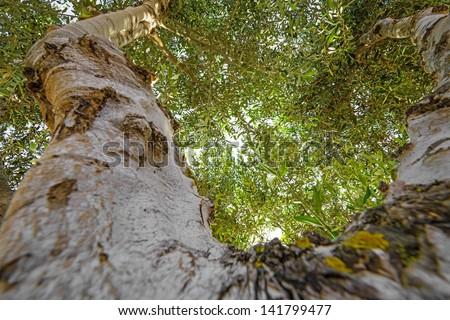 old olive tree - treetop - stock photo