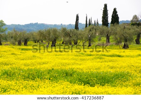 Old olive trees on flowers meadow on Corfu, Greece - stock photo