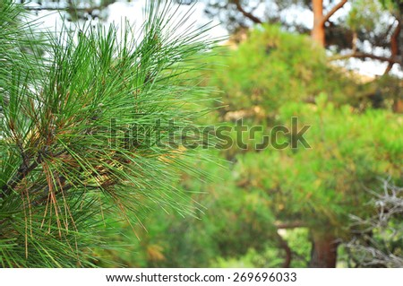 Old pine tree close up - stock photo