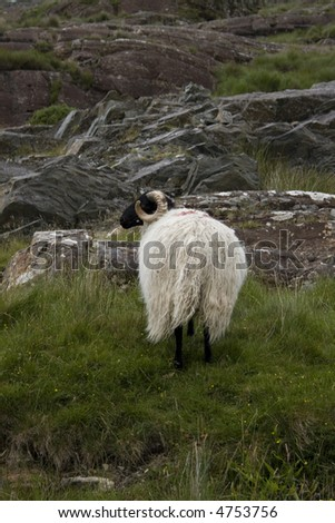 Old ram on the rocky connemara slopes of the west of Ireland - stock photo