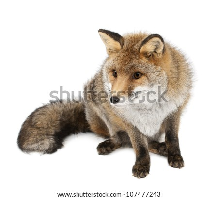 Old Red fox, Vulpes vulpes, 15 years old, sitting against white background - stock photo