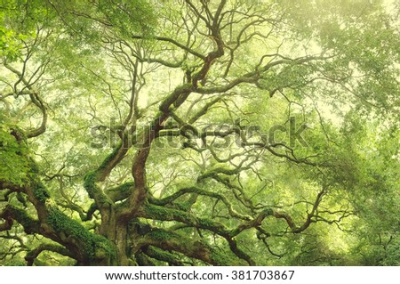 Old retro oak branches, Angel tree in South Carolina on Johns Island near Charleston. Fresh green forest background. - stock photo