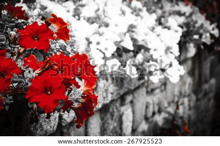 Old stone wall decorated with colorful petunia flowers. Brittany, France. Selective focus on the buds. Vignette. Retro aged photo.  - stock photo