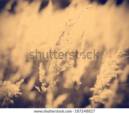old style Instagram nashville tone abstract art landscape feather grass against sun in backlight - stock photo