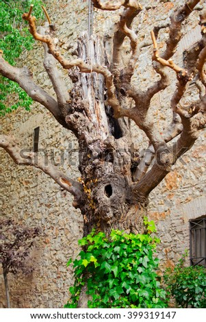 Old tree in the courtyard of the Dali Theatre. It's a museum of the artist Salvador Dali in his home town of Figueres, in Catalonia, Spain - stock photo