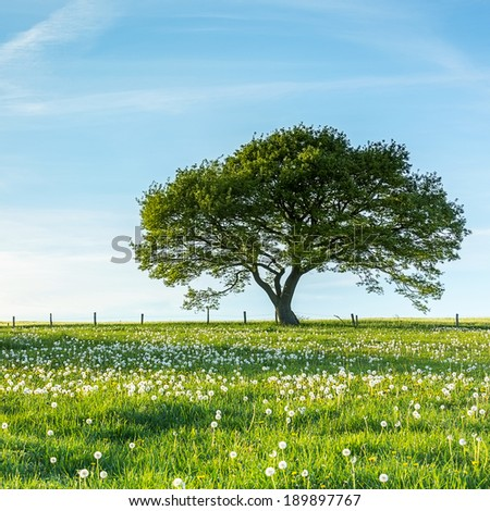 Old tree on meadow with Blue Sky in spring at the Eifel national park - stock photo