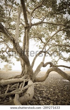 Old tree on sea coast in vintage tone - stock photo