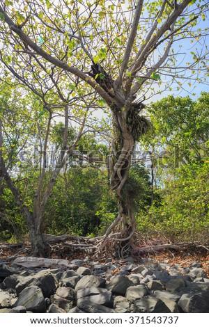 Old tree on stone coastal - stock photo