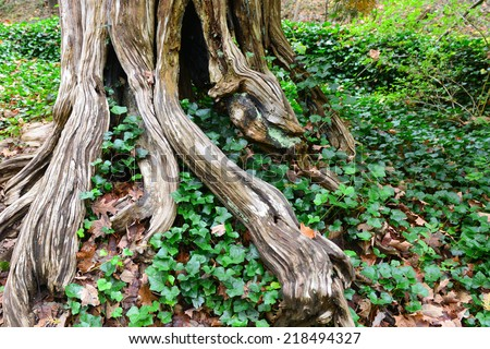 Old tree roots - stock photo