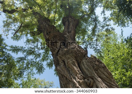 old tree viewed from below - stock photo