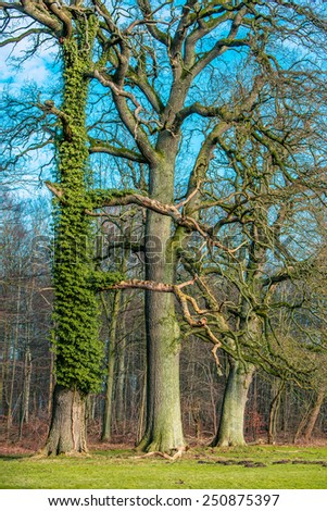 Old tree with green climbing ivy at a forest - stock photo