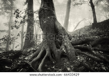 old tree with huge roots in a spooky forest with dark fog - stock photo