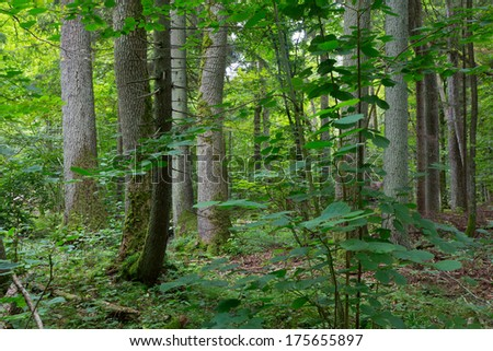 Old trees of Bialowieza Forest in summer - stock photo
