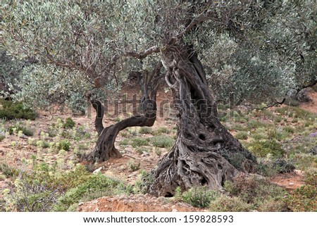 Old trunks of olive trees, Crete Island, Greece - stock photo