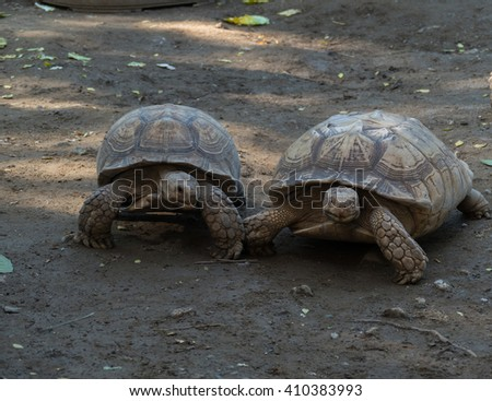 Old turtles walking on the ground - stock photo