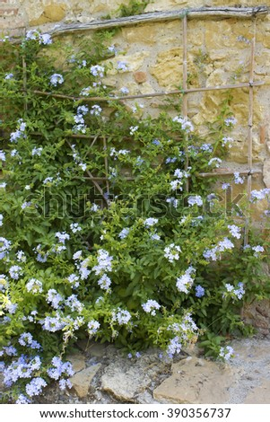 old tuscan wall with flowers - stock photo