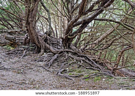 Old twisted and gnarled tree roots - stock photo