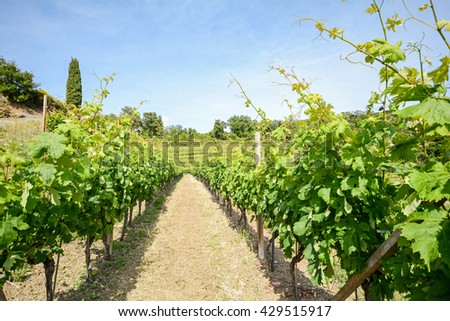 Old vineyards in the tuscany winegrowing area, Italy Europe - stock photo
