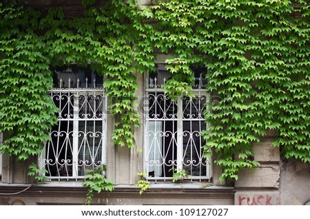 Old wall with ivy plant - stock photo