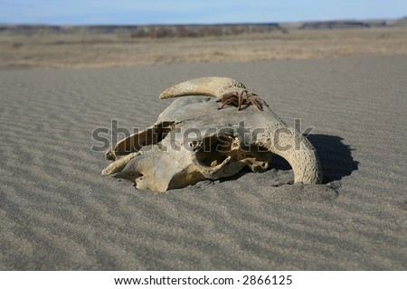 Old weathered cow skull in the desert sand - stock photo