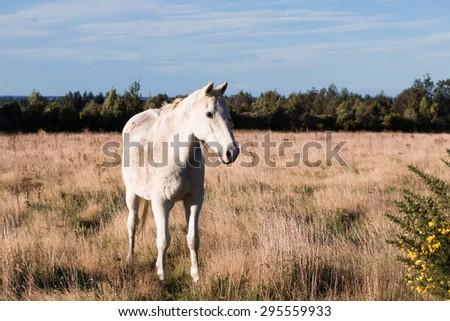 Old white horse on pasture, New Zealand - stock photo