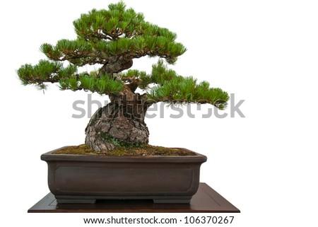 Old white isolated pine (Pinus parviflora) as bonsai tree in a pot - stock photo