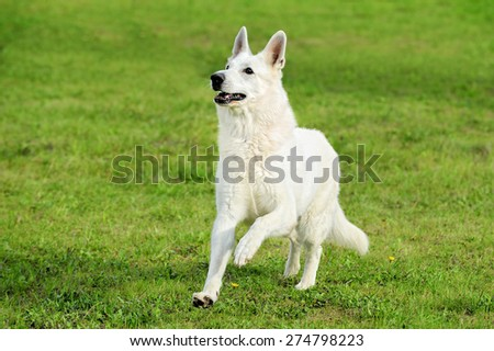 Old White Swiss Shepherd runs in the meadow - stock photo