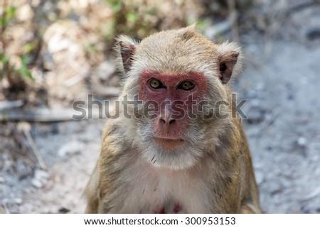 Old wise monkey. - stock photo