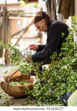 Old woman picking hawthorn flowers to make infusion - stock photo