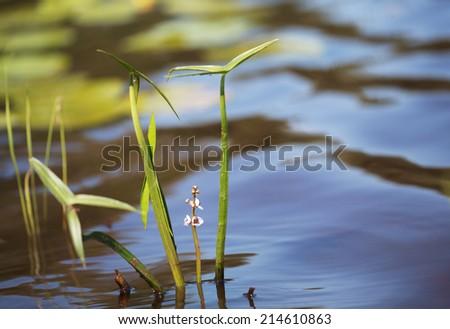 Old-World arrowhead (Sagittaria sagittifolia, Alismataceae) on the water surface, selective focus - stock photo