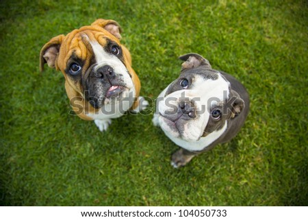 Olde English Bulldogge Pups, two to three months old, male and female - stock photo