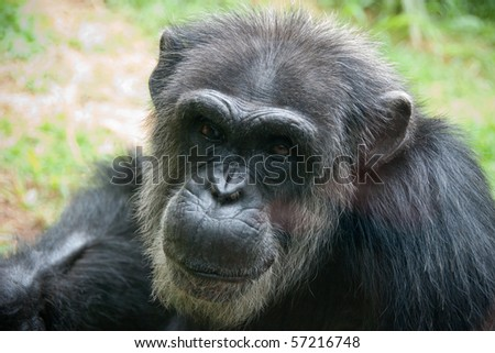 Older African Chimpanzee close up - stock photo