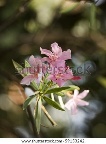 Oleander heights - stock photo
