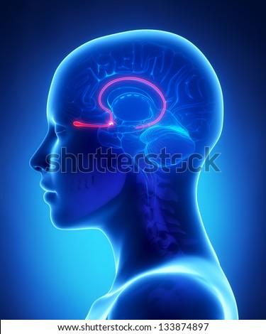 Olfactory bulb - female brain anatomy lateral view - stock photo