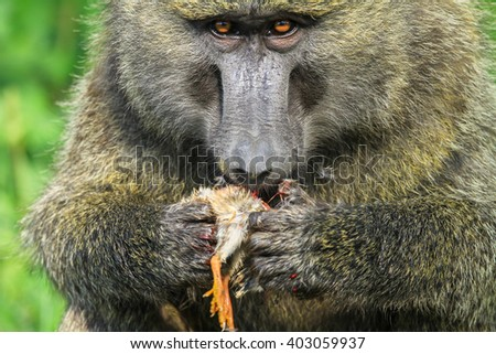 olive baboon catch small bird for food - stock photo