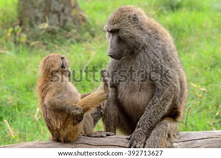 Olive baboon, Lake Nakuru National Park, Kenya - stock photo