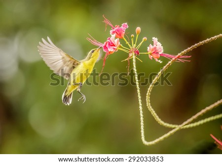 Olive-backed Sunbird her tail over three red. background green nature - stock photo