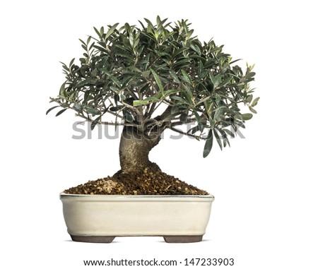 Olive, bonsai tree, olea europaea, isolated on white - stock photo