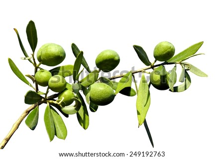 Olive branch on an isolated background - stock photo