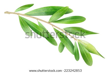 Olive branch with green leaves isolated on white, with clipping path - stock photo