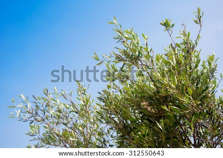Olive branch with green leaves on a background of blue sky - a symbol of Greec - stock photo