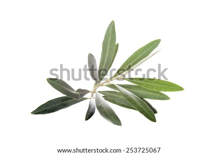 Olive branch with leaves isolated on a white background - stock photo