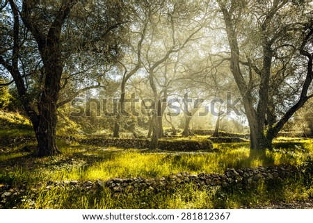 Olive field with old olive tree, Corfu, Greece - stock photo