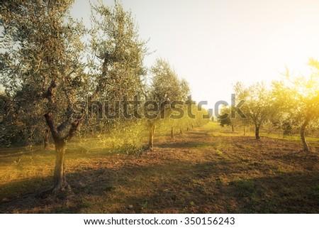 Olive garden - stock photo