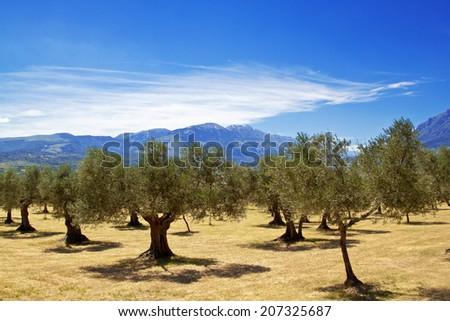Olive grove in Abruzzo region, Italy - stock photo